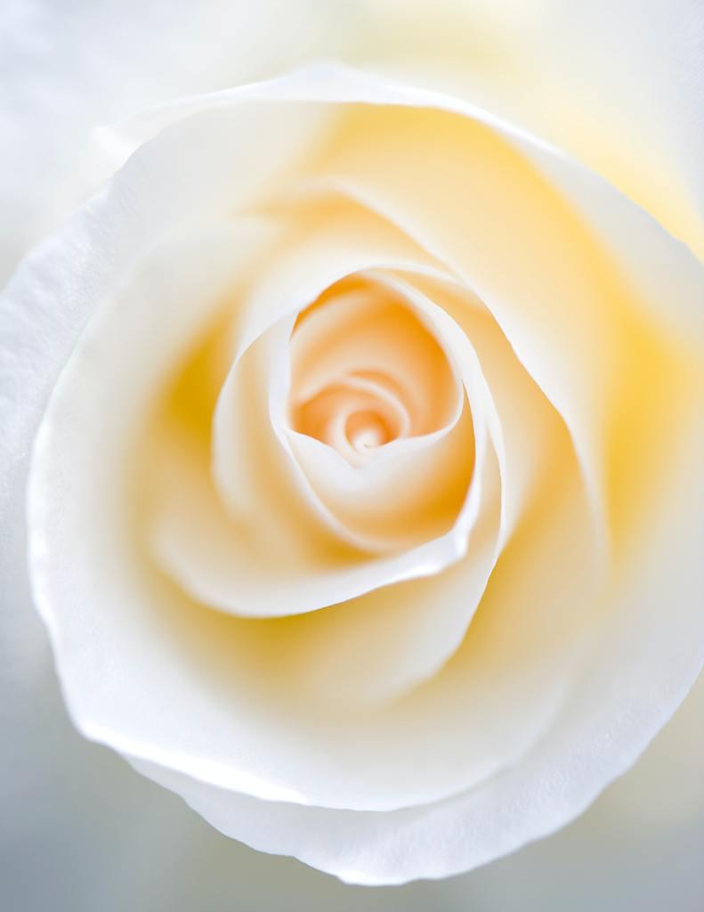 Foto de rosa