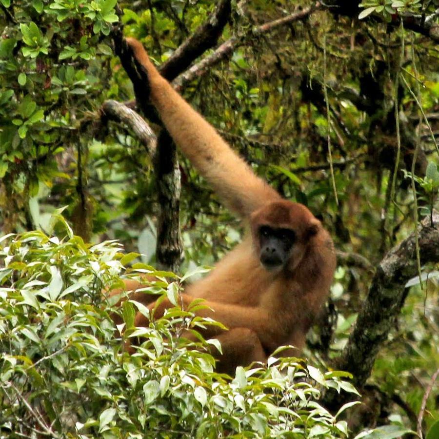 Monocarvoeiro o maior macaco das Americas,