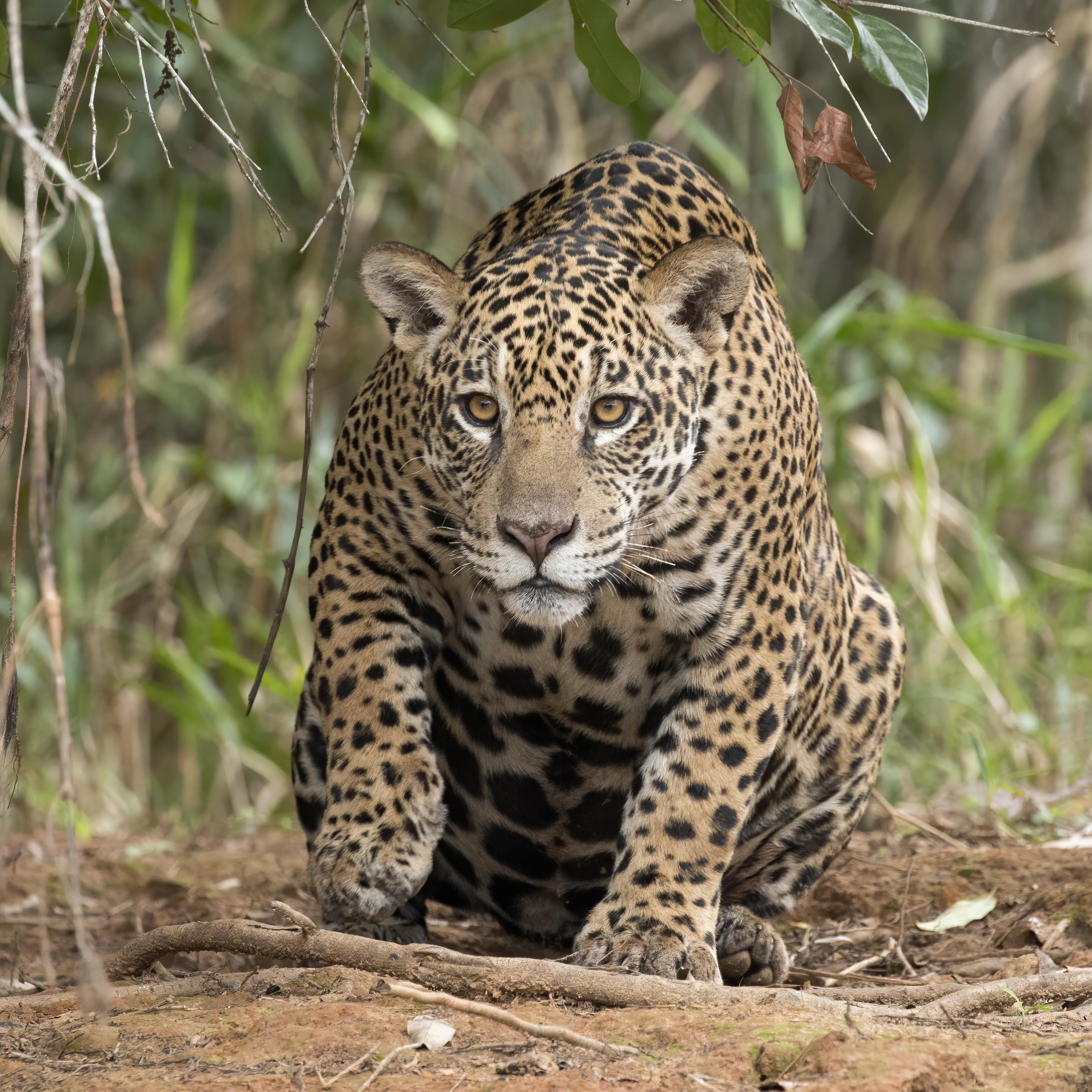 Onça Pintada, Jaguar