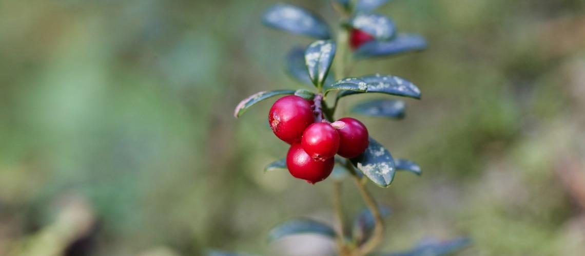 Arbusto do Arando