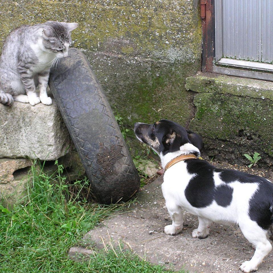 Cão olhando para gato