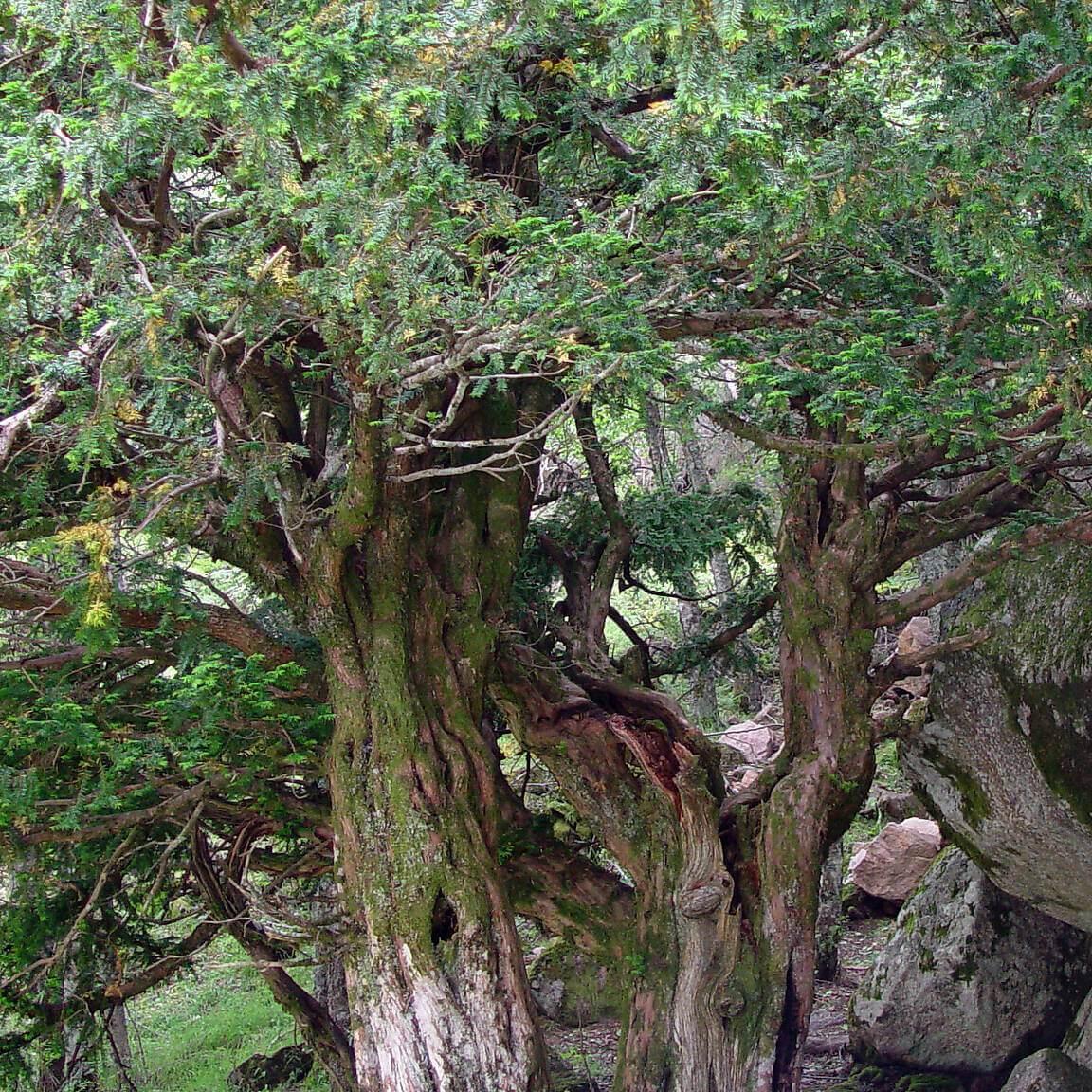 Árvore Taxus baccata,Teixo, em flora-on.pt