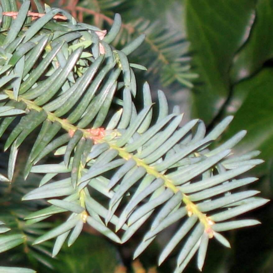 Folhas da Árvore Taxus baccata,Teixo, em flora-on.pt